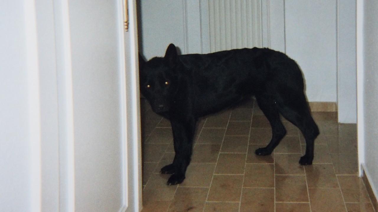 """Unser Hund """"Minnie"""", eine belgische Schäferhündin"""
