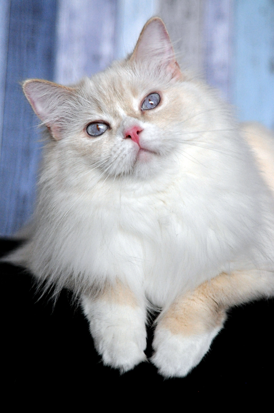 lilac lynx point mitted