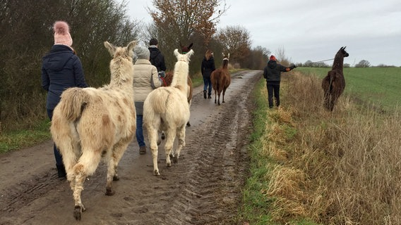 NDR Radiobericht Lamas und Alpakas: Beliebte Nutz- und Therapietiere