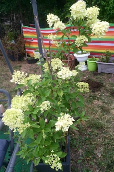 die Hortensie bekommt ständig neue Blüten - wunderschön