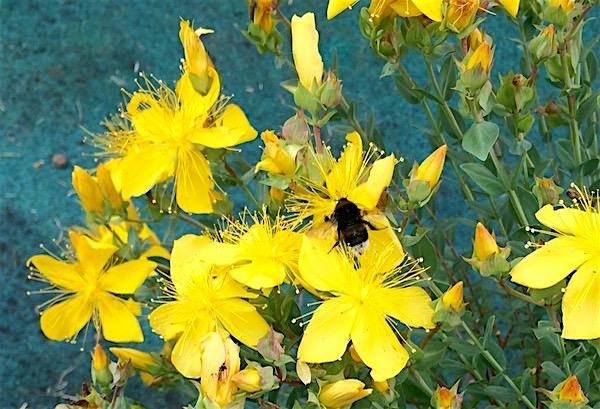 Bienen lieben diese Blüten