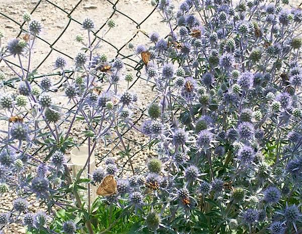 reger Betrieb von Insekten und Schmetterlingen an meinem Distelbusch