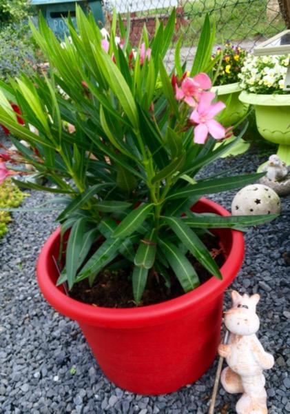 ...mein neuer Oleander