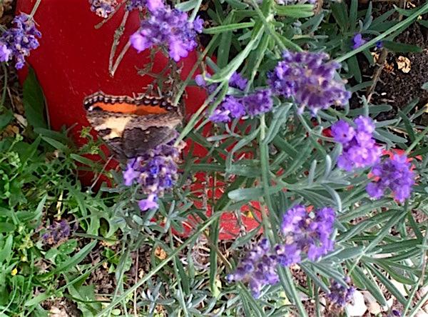 auch den Lavendel lieben die Schmetterlinge
