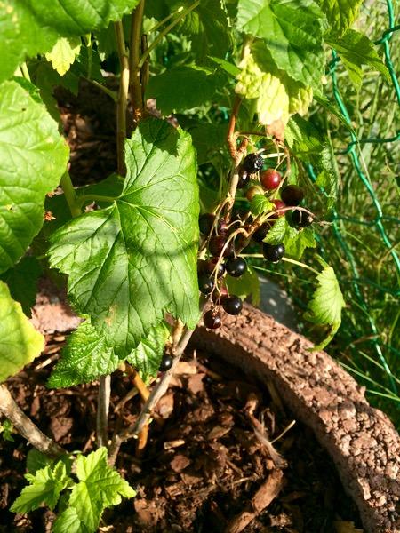 meine schwarzen Johannisbeeren sind gut angegangen und tragen Früchte
