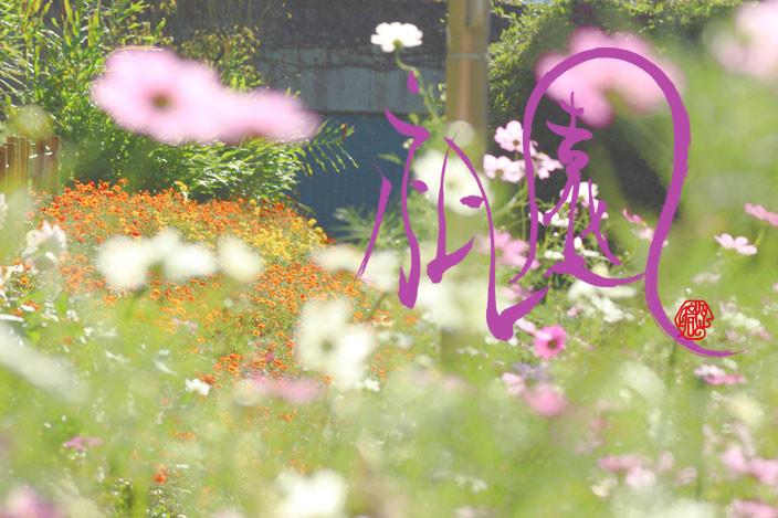癒しの写真「庭に咲いたコスモス」