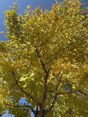 秋 花 木 いちょう イチョウ