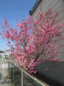 東京インテリアデザインセンター/家具/インテリア/栃木県鹿沼市/桜/公園