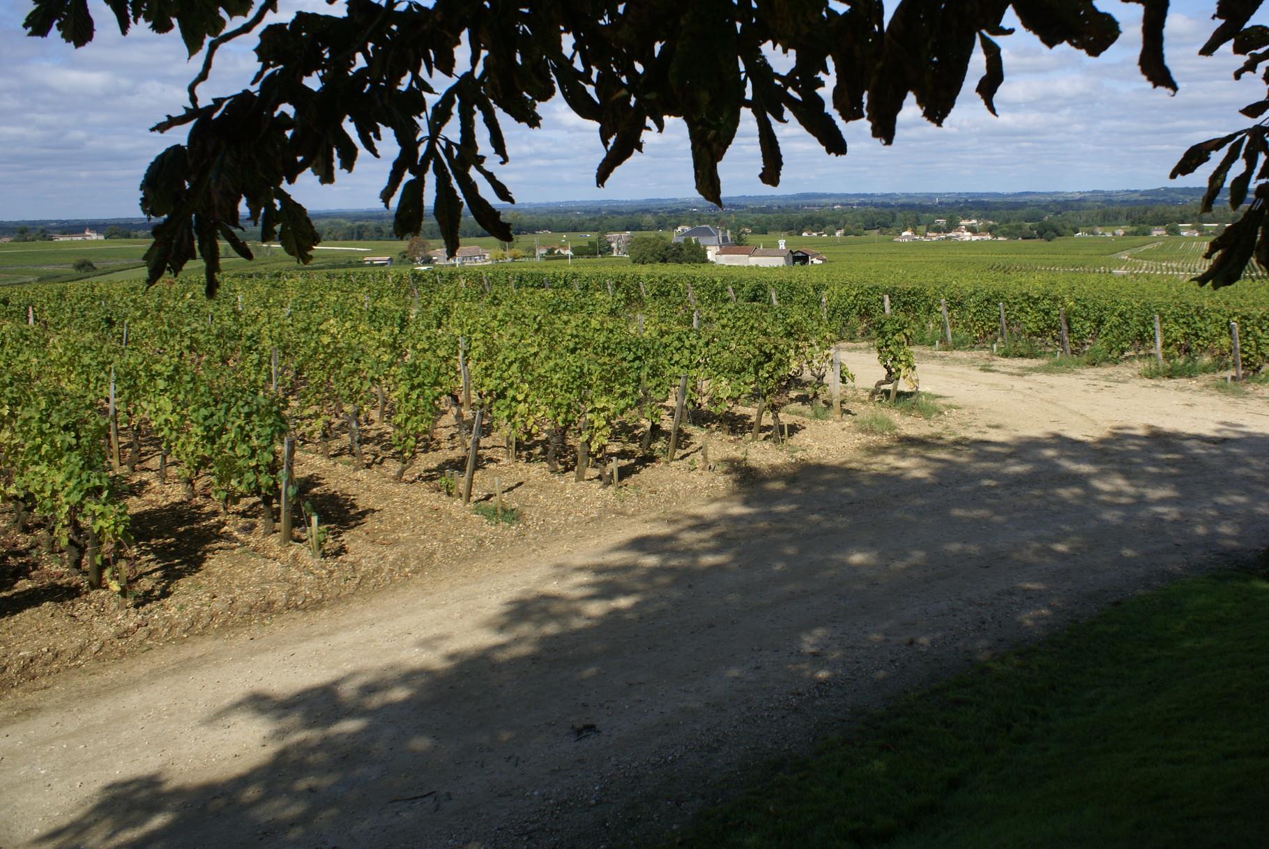 Les vignes vues de sous les arbres séculaires. Sachez qu'à Yquem, un pied de vigne produit un verre de vin alors qu'en général un pied permet d'obtenir une bouteille de Sauternes