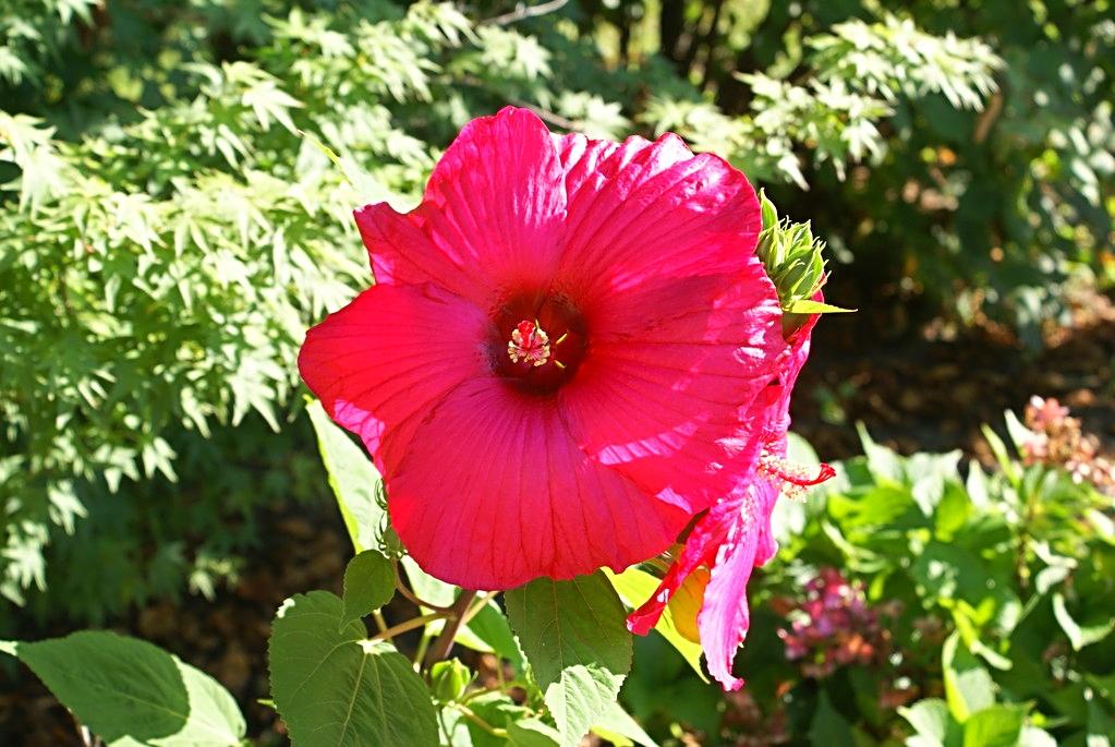 L'Hibiscus du jardin