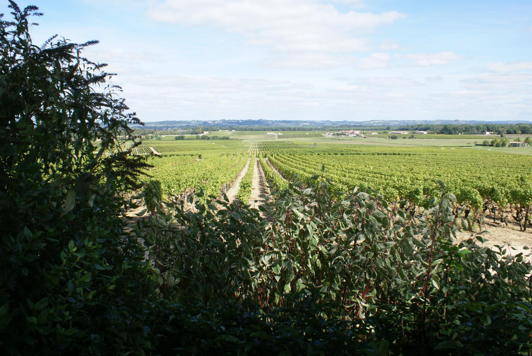 Les parcelles d'Yquem d'un seul tenant autour du domaine avec la Garonne à l'horizon.