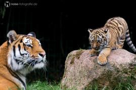 Tigerbaby im Tierpark Gotha 2014 Gota Gotschka