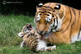 lachendes Tigerbaby im Tierpark Gotha 2014 Gota Gotschka