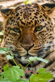 Gepard im Tierpark Gotha
