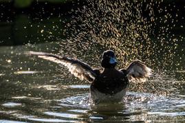 Ente im Gegenlicht im Tierpark Gotha