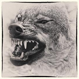 Wolf im Tierpark Gotha