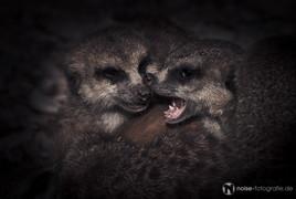 kämpfende Erdmännchen im Tierpark Gotha