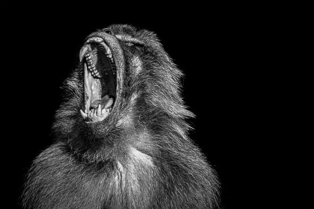 Schreiender Affe im Zoo Erfurt