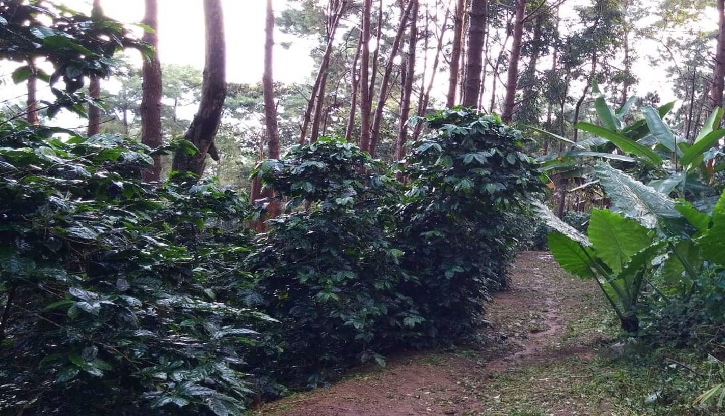 珈琲のお話(1-1)コーヒーの木になる種が珈琲豆になる