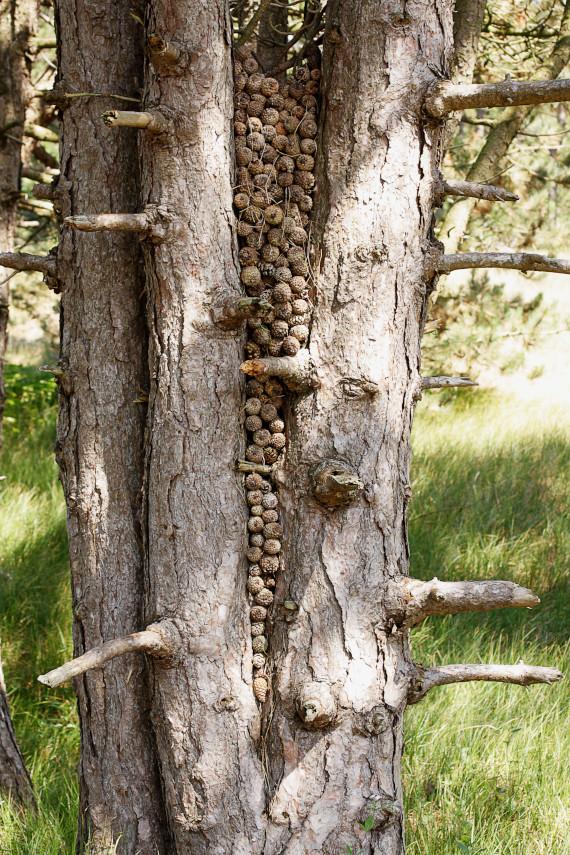 Landart Kunst in der Natur ahornblatt Brigitta Backhaus Gummersbach Zapfen Baum Objekt Spiekeroog