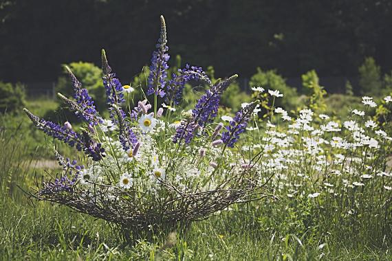 Blütenträume mit Lupinen    Foto: Ahornblatt