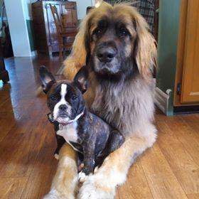 MINIBULLZ - Bully Rascalz American Bulldogs Breeder Ontario