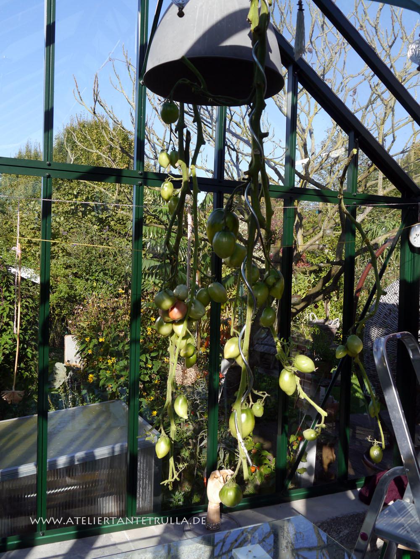grüne Tomaten im Gewächshaus nachreifen