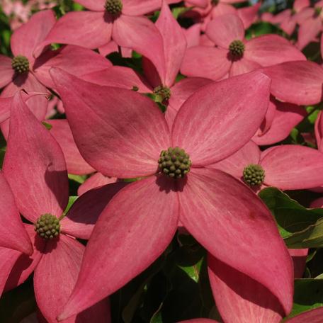 Cornus Kousa Scarlet Fire rosa Hochblüten