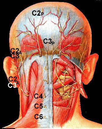 頚椎の痛みや首のこり関する筋肉群