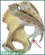 仙結節靭帯図