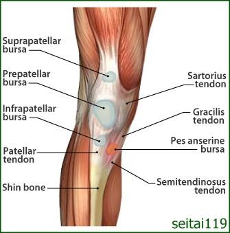 鵞足滑液包炎:膝の内側の腱に炎症が起こり痛みを感じる障害