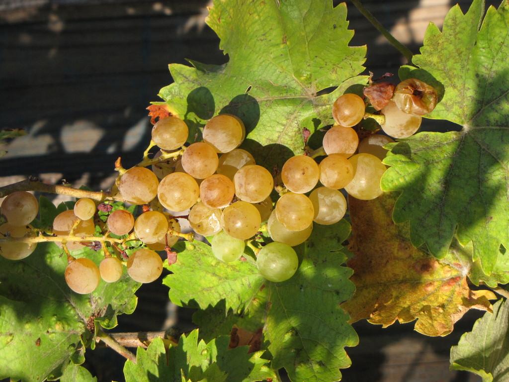 Vigne et raisin de votre gîte de charme dans les Landes de Gascogne