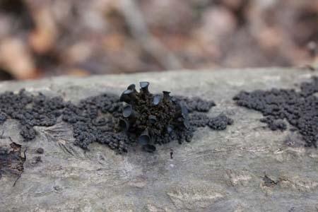 クロハナビラタケ近縁種