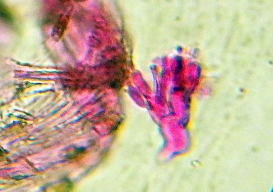 ギベルラ属の一種