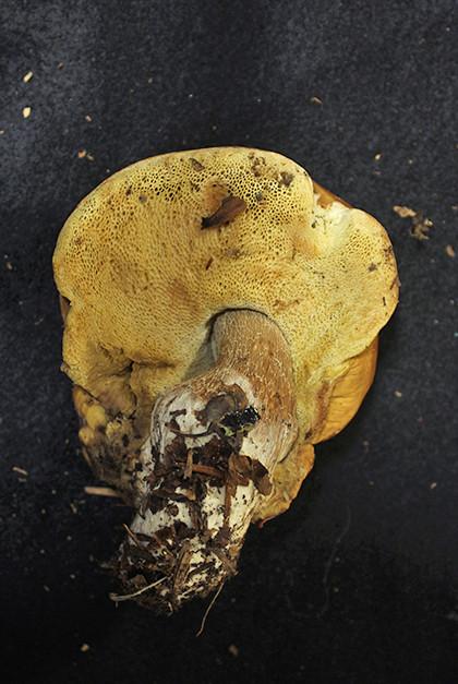 ムラサキヤマドリタケ近縁種