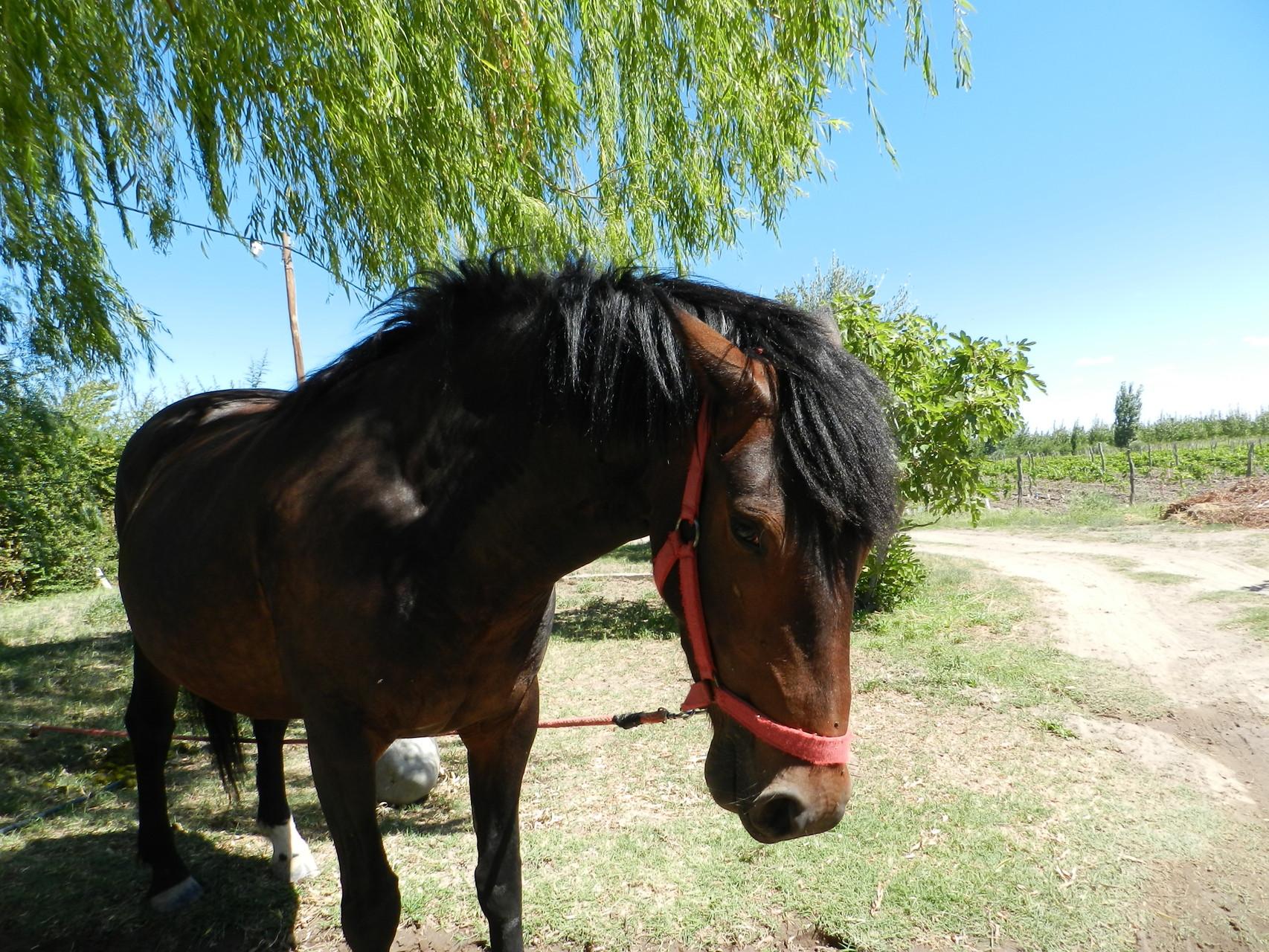 Pferd Nr.2, Canela