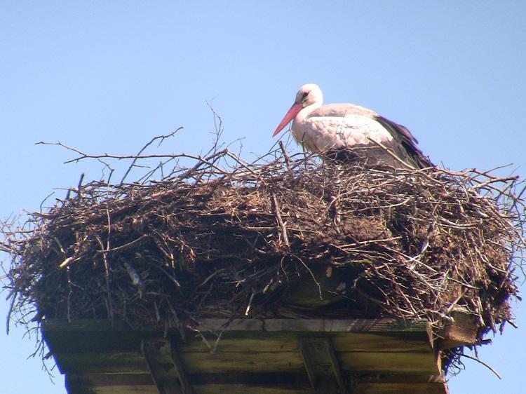 Storch in Langwedel