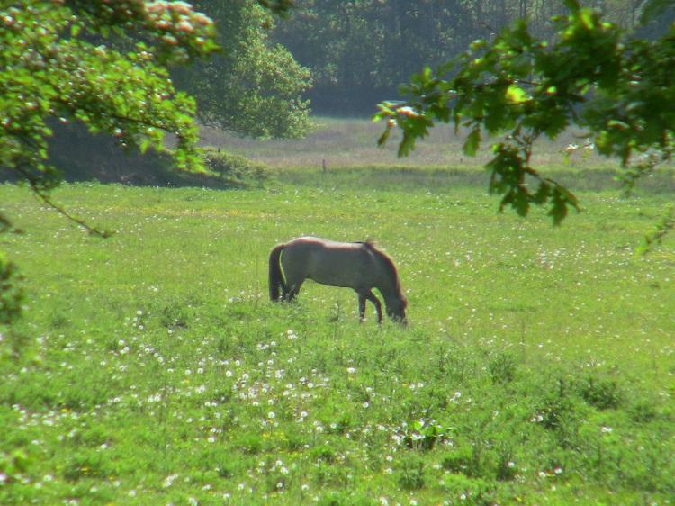 Konik-Wildpferde