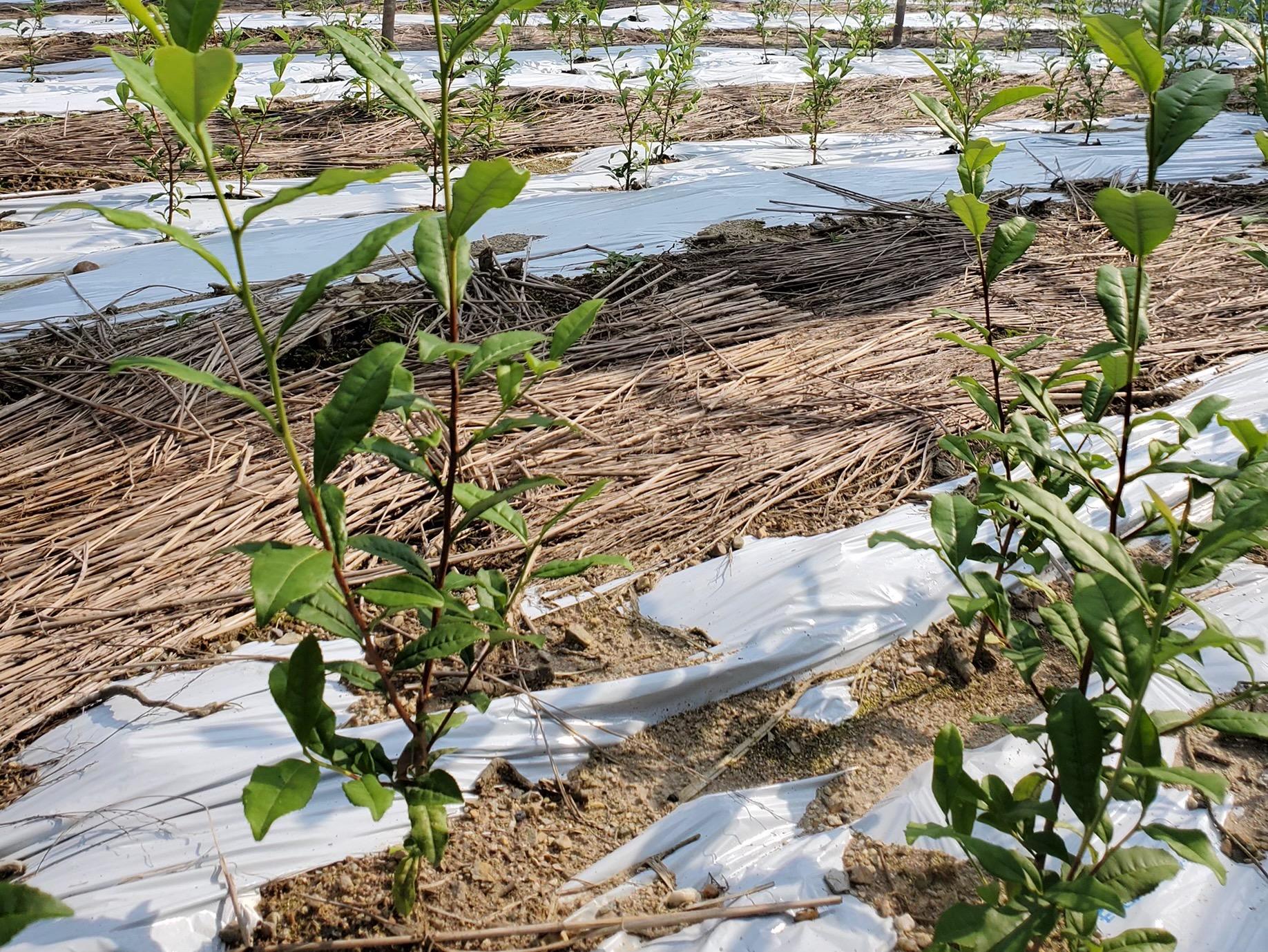茶の木成長