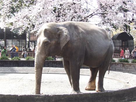 小田原城内の象のウメ子