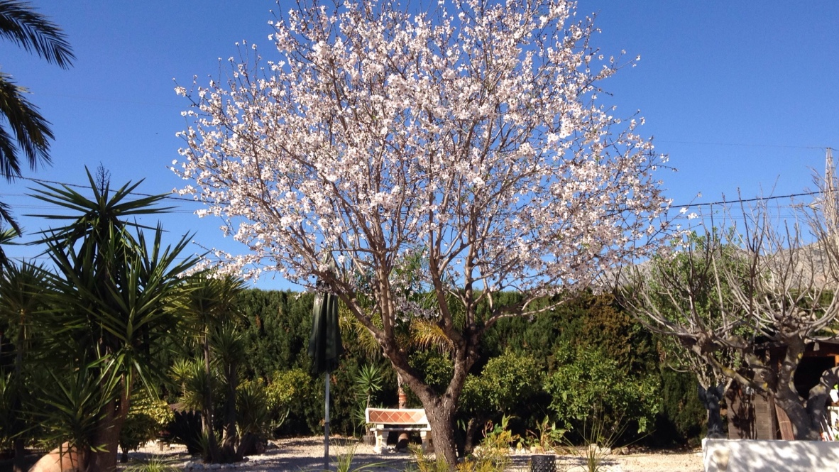 We just have one almond tree but there are hundreds of them in the region
