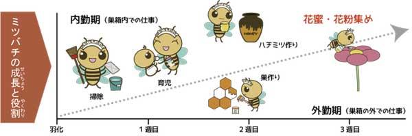 ミツバチの成長と役割