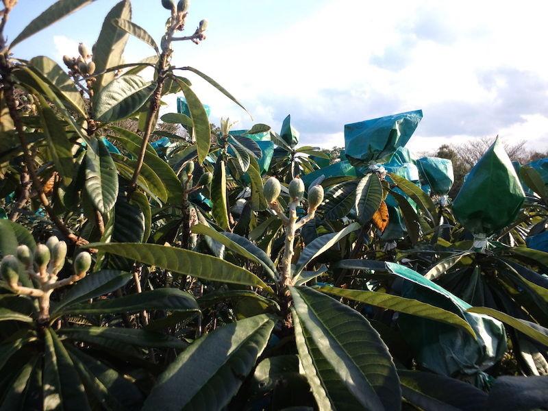1月〜2月 ピーナッツ?アーモンドくらい?に太り始めた実を保護するために充実した枝を選び袋をかけます。毛虫・ヒヨドリによる食害、また風による擦れを防ぐことが目的です。
