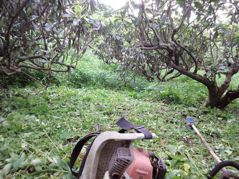 7月 収穫もつかの間、梅雨明けと同時に草が生い茂る。無尽蔵に生えてくる草は有用な有機物資源。枇杷の浅根や微生物のためにも地ぎわから草刈りせずに10センチ上で草刈りし、株元に刈り草を寄せます。
