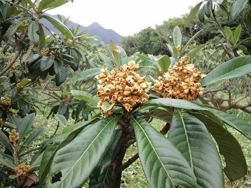 10月 花満開です。昨年はこの花芽がつく9月に猛烈な台風で花芽がやられた。すべての花をそのままにしておくと、ビワの実が大きくならないので、このあと11〜12月にかけて摘蕾作業を進めます。