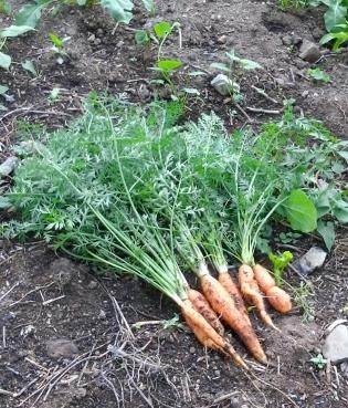 bio-zanahorias frescas en la mesa / frische Biokarrotten auf den Tisch