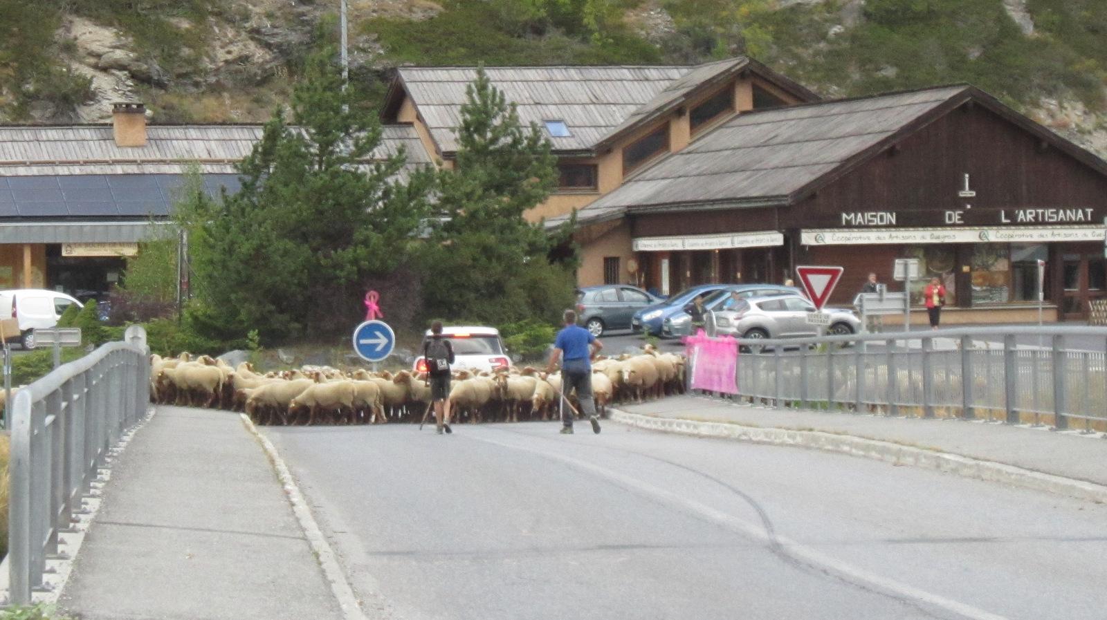 ... l'arrivée des moutons