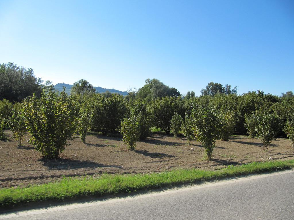 plantation de noisetiers