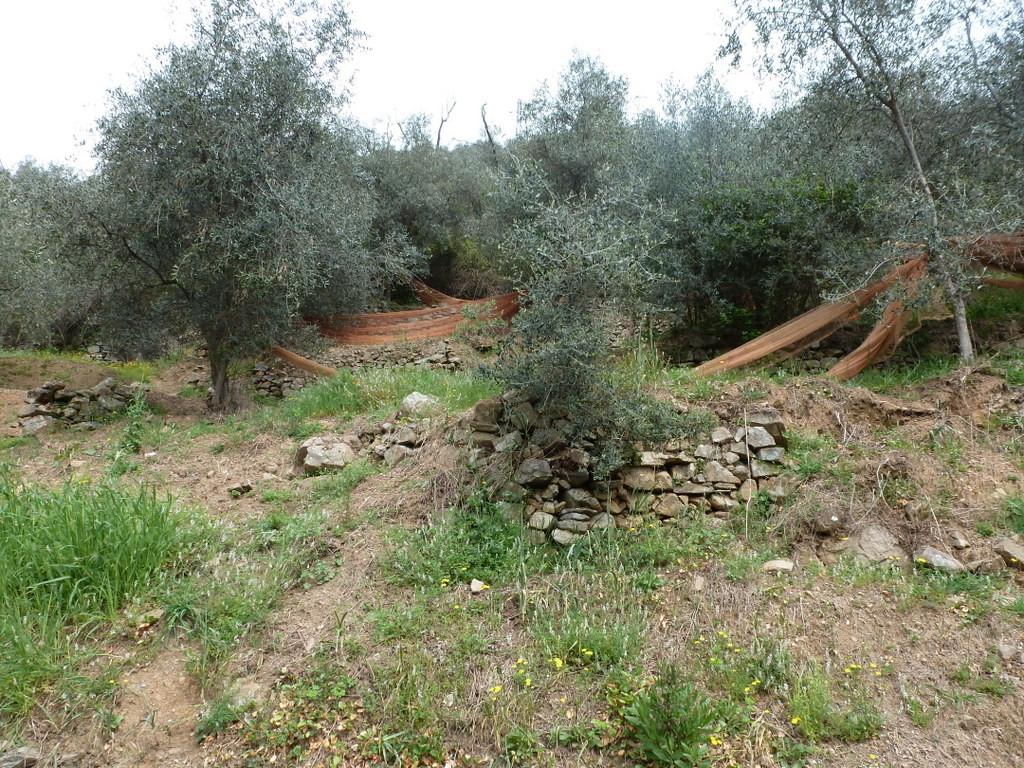 ... la cueillette des olives