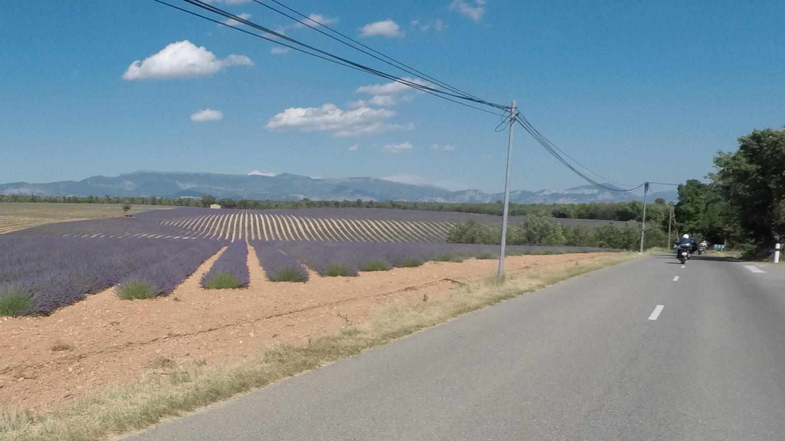 retour entre champs de lavande ...
